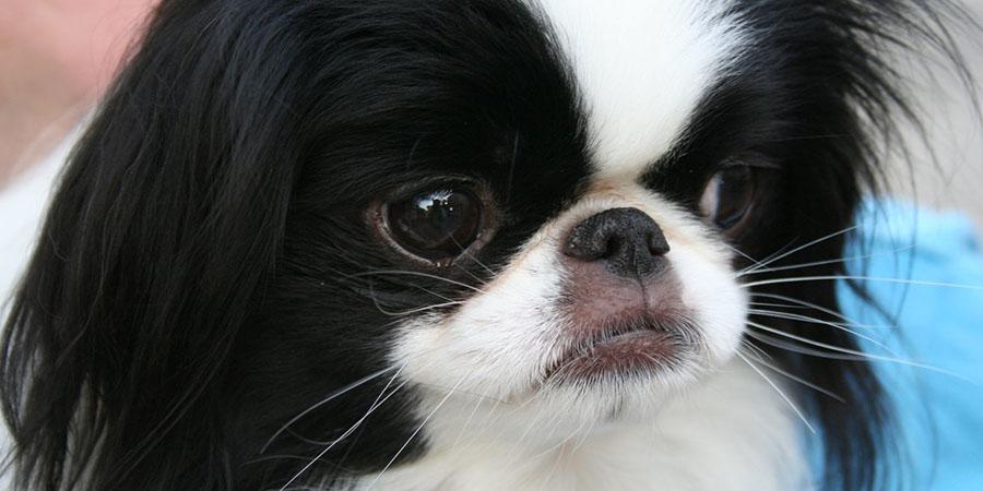 Дрессировка декоративных и других домашних собак