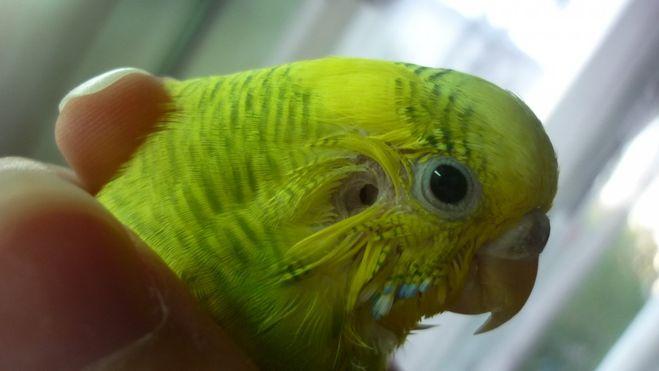 Есть ли у птиц наружные уши?