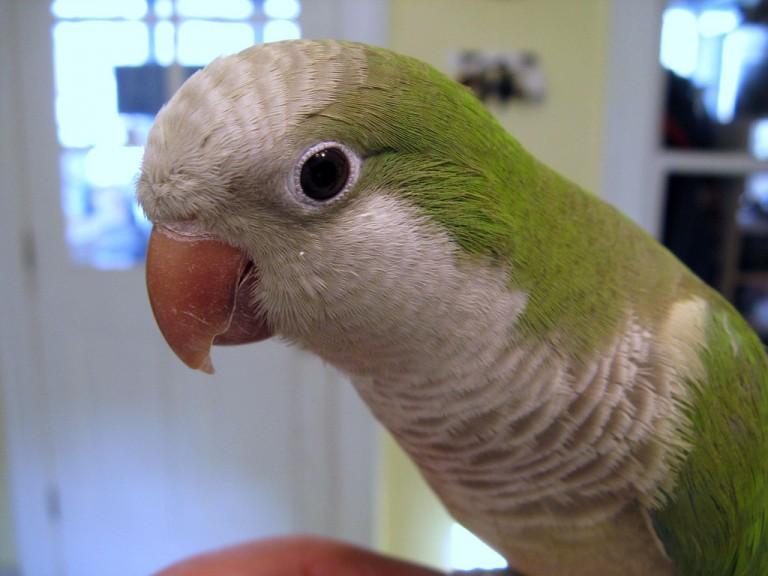Попугаи — имитаторы человеческой речи