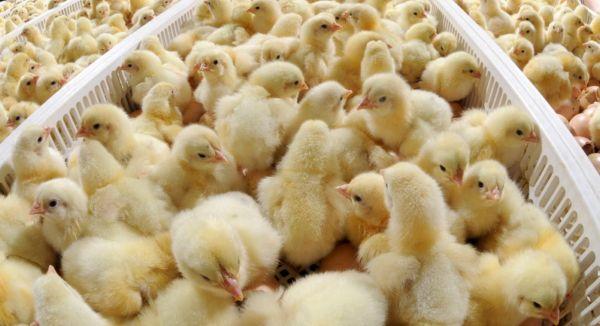Птицеводство – популярная сфера фермерской деятельности.